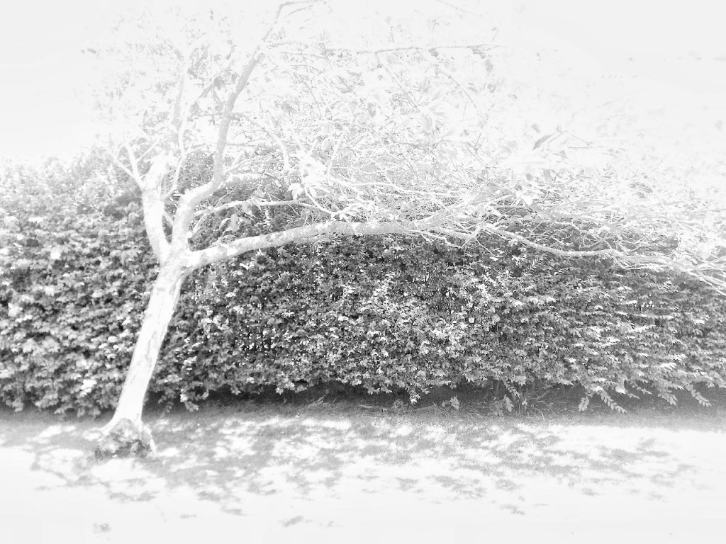 High contrast image of a tree stretching out in front of a hedge